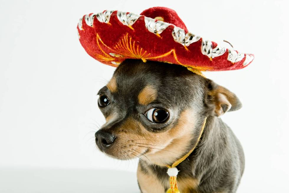 399634-puppies-chihuahua-with-sombrero.jpg